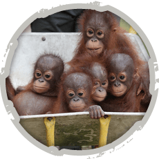 "[themify_button style=""large flat rect"" color=""#ED8000"" text=""#ffffff"" link=""http://www.internationalanimalrescue.or.id/orangutan-rescue/"" ]Orangutan Rescue[/themify_button]"