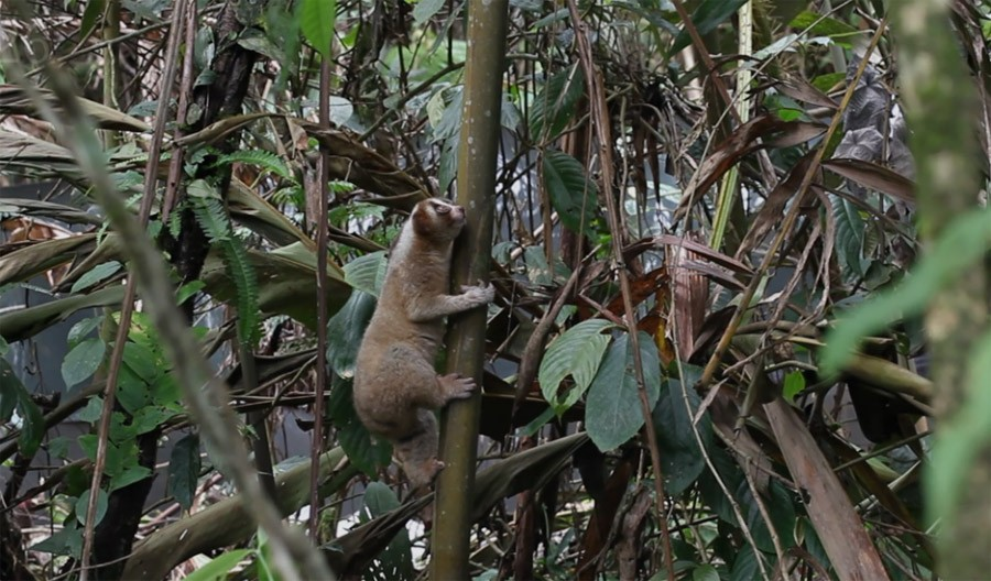 Rumah sejati kukang adalah hutan, jangan diburu karena ia penting bagi ekosistem alam. Foto: IAR Indonesia