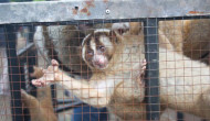 19 Critically Endangered Slow Lorises Rescued From Online Trader