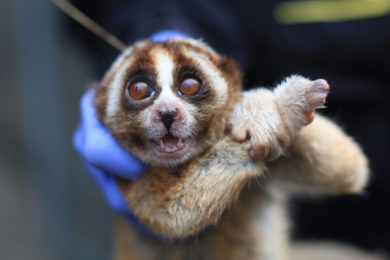 Image result for 10 Ekor kukang ini dilepas ke habitatnya, awalnya kurus dan luka-luka