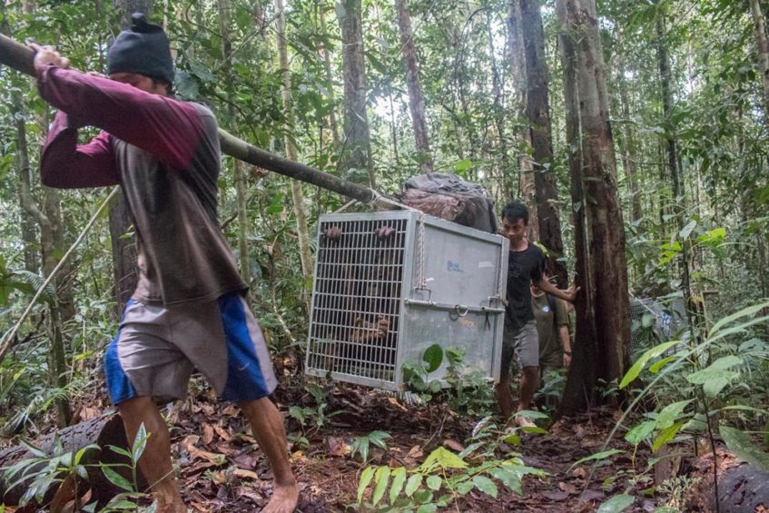 Incredible epic adventure to return three orangutans to the wild