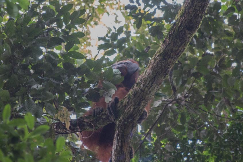 YIARI Lepas Tiga Orangutan ke Habitatnya