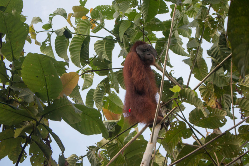 Dramatic scenes as animal rescuers capture rare orangutan to stop angry villagers attacking it for stealing crops