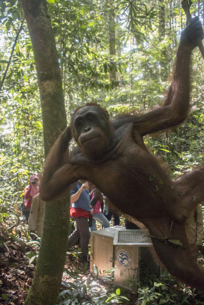 Melky, menjadi orangutan pertama yang direhabilitasi IAR Indonesia. Setelah melewati proses panjang pengembalian sifat liar alaminya, kini ia telah bebas ke alam   Foto: Heribertus Suciadi/IAR Indonesia