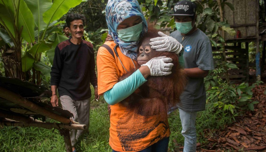Indonesian 'house pet' orangutans rescued by activists