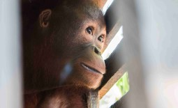 Infant Orangutan Rescued From Cage 'the Size of a Cupboard'