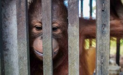 Baby orangutan is freed after more than a YEAR kept inside a cage the size of a cupboard by plantation workers