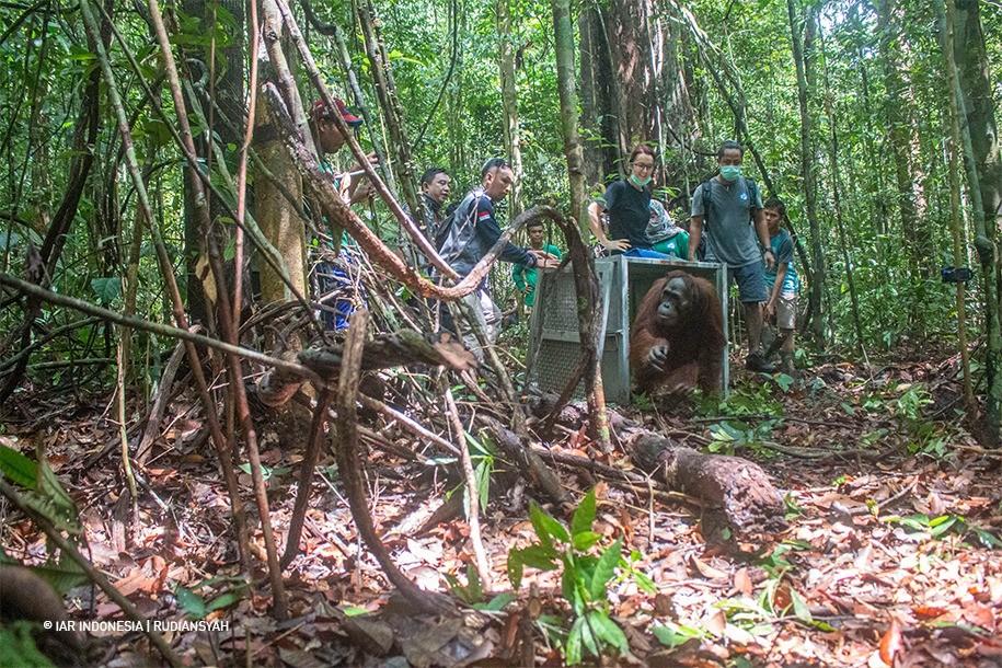 Orangutan dilepasliarkan ke hutan.