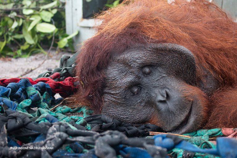 Orangutan ditangkap untuk dipindahkan.