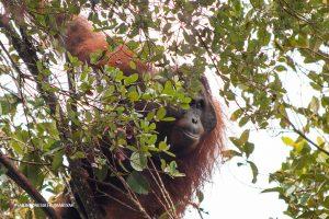 Orangutan di atas pohon.
