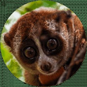Kukang Sumatera di Hutan Lindung Batutegi_IAR Indonesia