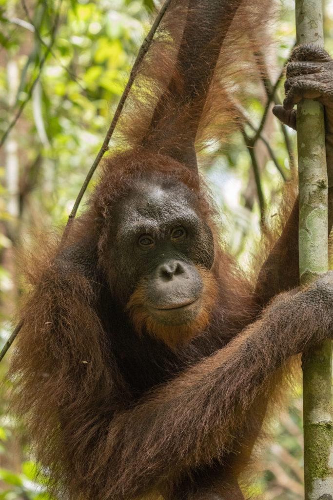 Orangutan yang dilepasliiarkan di kawasan TNBBBR.