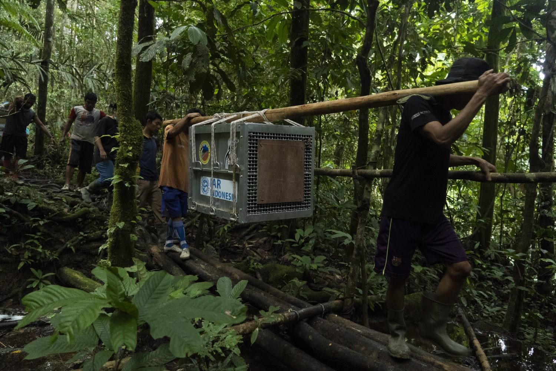 Pelepasliaran orangutan di kawasan Taman Nasional Bukit Baka Bukit Raya (TNBBBR) Kalimantan Barat.
