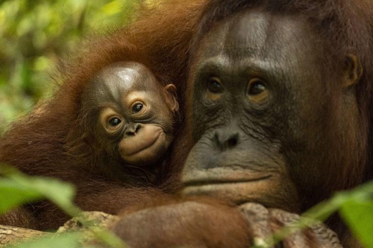 Orangutan Laksmi dan Lusiana, Ibu dan Anak.
