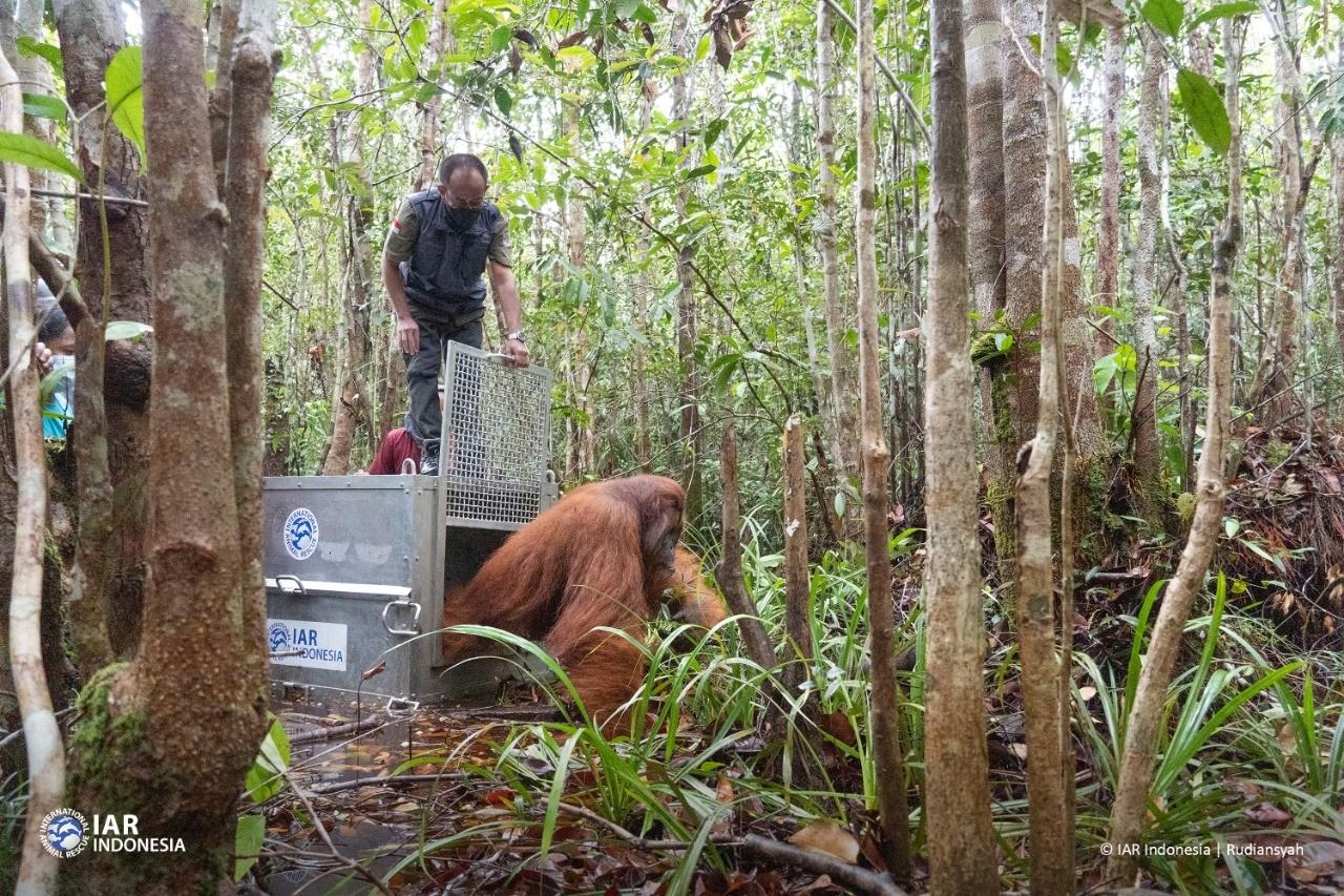 Boncel dilepasliarkan ke hutan.
