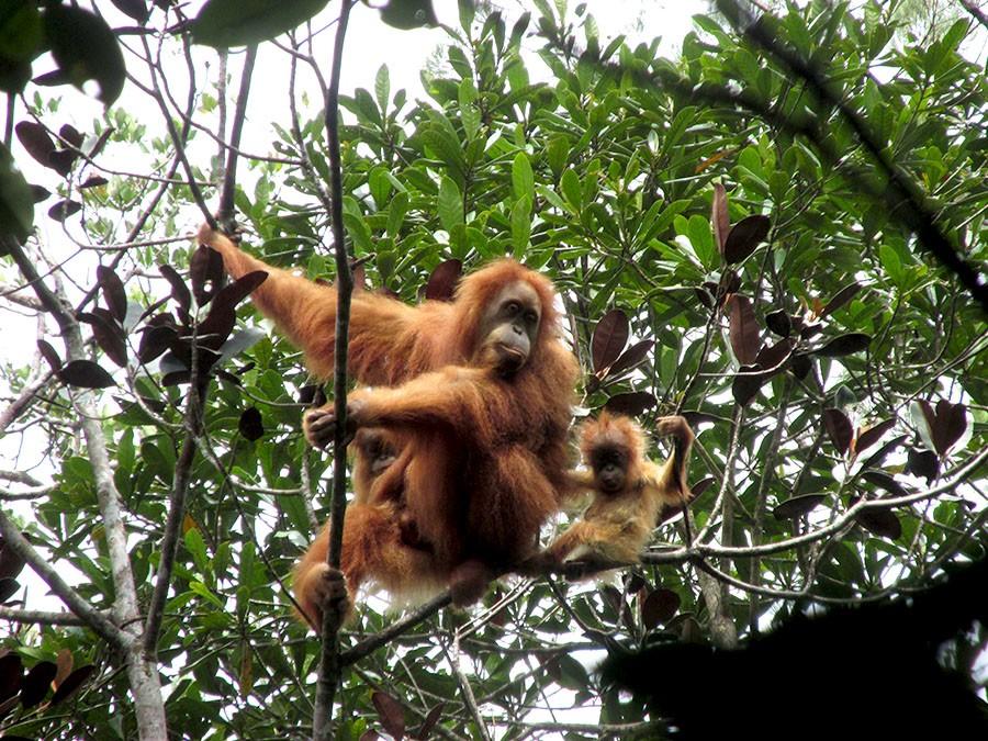 orangutan tapanuli bersama anaknya