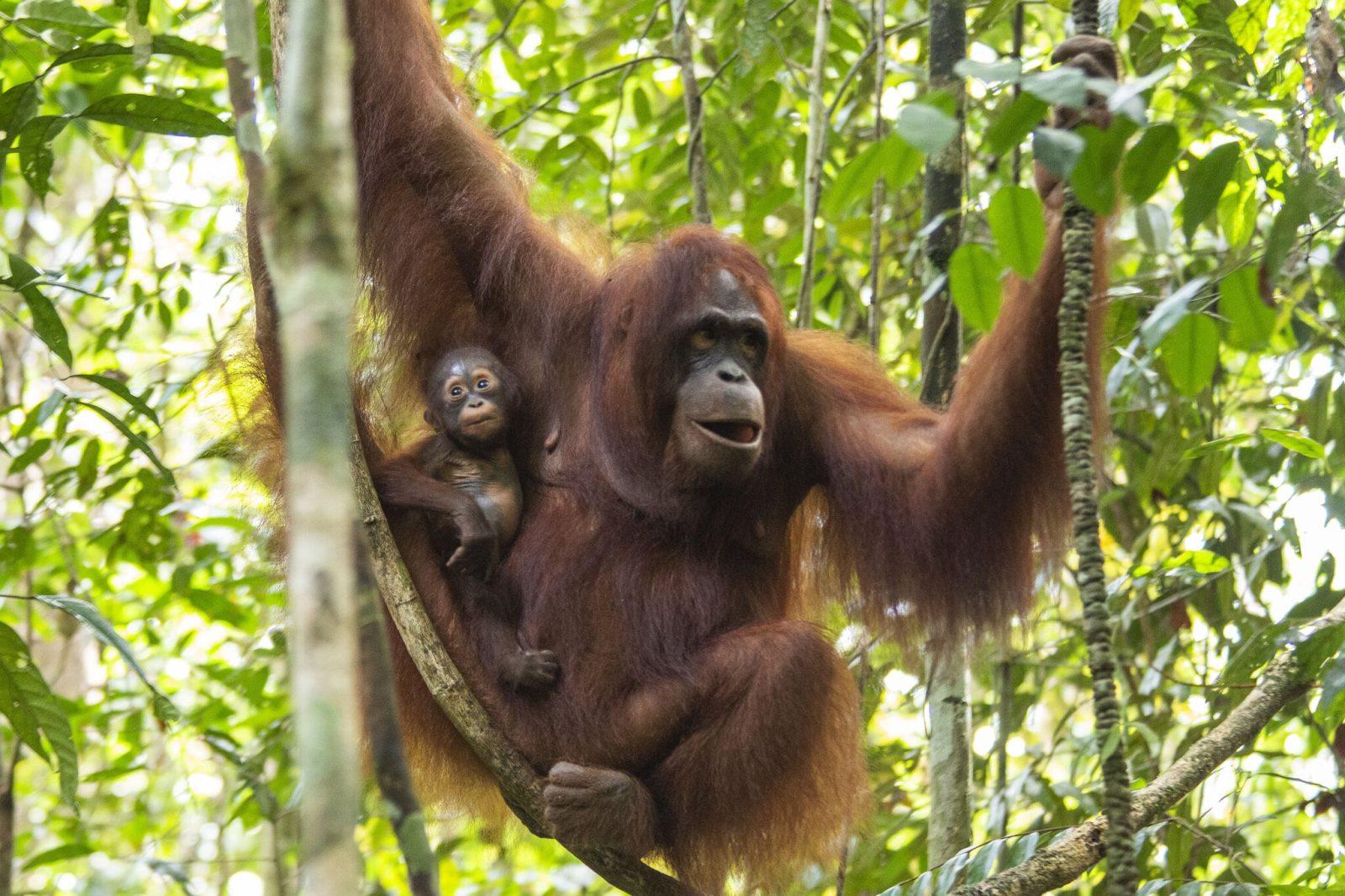 orangutan kalimantan shila surya