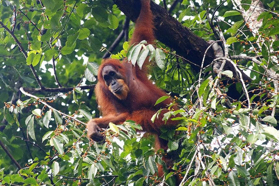 orangutan sumatra bergelantung
