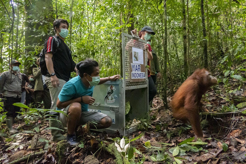 Orangutan bernama Cantik kembali ke habitatnya di hutan kalimantan